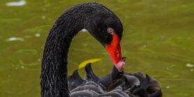 Kan Bitcoin Crashen Black Swan Event